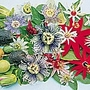 Passion Flower Exotic Mix Seeds (Passiflora)