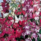 Penstemon Beloved Bells Mix Seeds