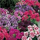 Petunia F1 Duo Double Mix Seeds