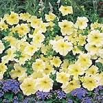 Petunia F1 Prism Sunshine Seeds