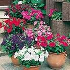 Petunia Super F1 Hybrid Mix (Multiflora) Seeds