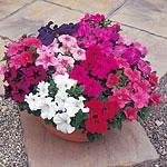 Petunia F1 Super Hybrid Mix (Grandiflora) Seeds
