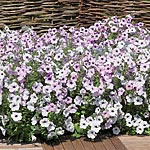 Petunia F1 Super Hybrid Pearly Queen Seeds