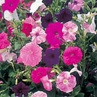 Petunia Seeds - Totty Mix