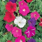 Petunia F2 Cheerful Mix Seeds