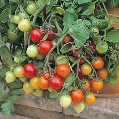 Fruit Seeds -Tomato Tumbling Tom Red