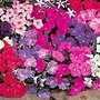 Petunia F1 Carpet Mix Seeds
