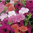 Petunia F1 Super Hybrid Trailing Mix Seeds