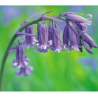 Bluebells  - Pack of 20 Bulbs In The Green