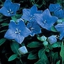 Platycodon grandiflorum Blue Pygmy Seeds (Balloon Flower)