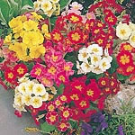 Polyanthus Giant Thrill Mix Seeds