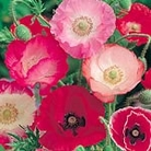 Poppy Shirley Mix Seeds