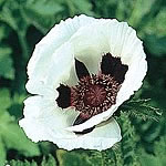 Poppy Royal Wedding Seeds