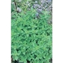 Sweet Marjoram Origanum  x 5 young plants
