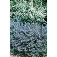 Rosemary Miss Jessops x 5 plants