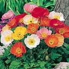 Poppy - Iceland Poppy Seeds
