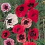 Poppy Pizzicato Mix Seeds (Papaver orientale)