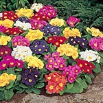Primrose (Cultivated) Springtide Mix Seeds