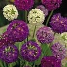 Primula Denticulata Hybrids Seeds