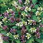Prunella Freelander Mix Seeds