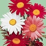 Pyrethrum Large Flowered Hybrids Seeds
