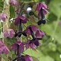 Rhodochiton atrosanguineum Seeds (Purple Bell Vine)
