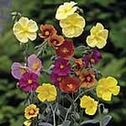 Rock Rose Mix Seeds