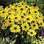 Rudbeckia Indian Summer Seeds
