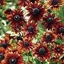 Rudbeckia Moreno Seeds