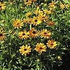 Rudbeckia Marmalade Seeds