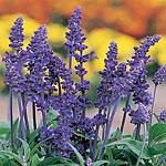 Salvia farinacea Victoria Seeds