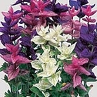 Salvia horminum Bouquet Mix Seeds