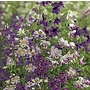 Schizanthus pinnatus Angel Wings Seeds (Butterfly Flower, Poor Man&#x27;s Orchid)