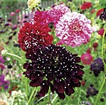 Scabious Summer Berries Seeds