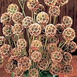 Scabious Paper Moon Seeds