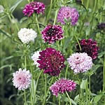Scabious Pin Cushion Mix Seeds
