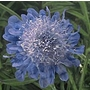 Scabious japonica Ritz Blue Seeds