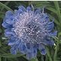 Scabious japonica Ritz Blue Seeds