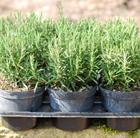 Rosmarinus officinalis (rosemary promotion   6 pack)