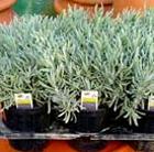 Lavandula angustifolia (lavender promotion   6 pack)