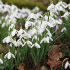 Galanthus nivalis (snowdrop   In The Green)