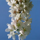 Prunus 'Hillings Weeping' (weeping Fuji cherry (syn. 'Snow Showers'))