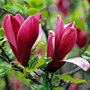 Magnolia liliiflora 'Nigra' (black lily magnolia)