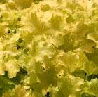 Heuchera 'Lime Rickey' (PBR) (Rainbow Series) (coral bells)