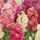 Stock Fragrant Bedding Mix Seeds