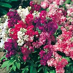 Stock Sweetly Scented Mix Seeds