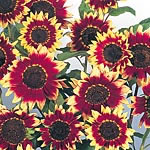 Sunflower Florenza Seeds