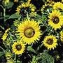 Sunflower Irish Eyes Seeds
