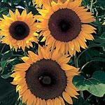 Sunflower F1 Full Sun Seeds