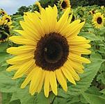 Sunflower Giant Yellow Seeds